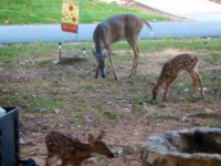 The Deer have become accustomed to being around people and are protected by severe state park rules and regulations.