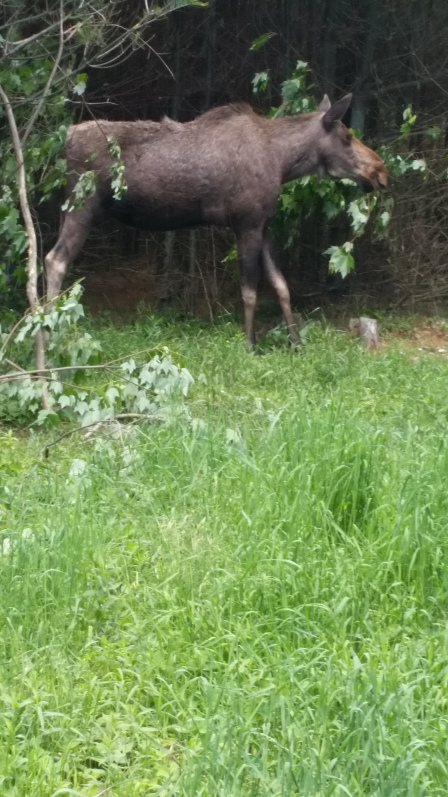 Moose grazing