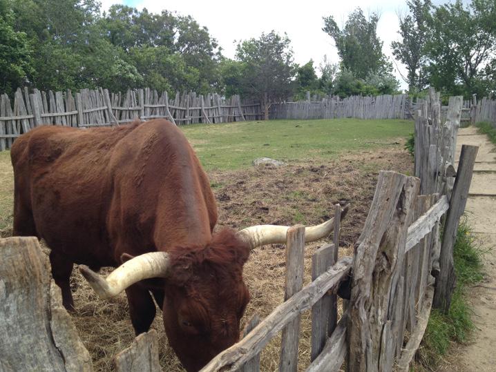 Plimoth-Working-Farm-Bull