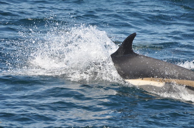 white-side-dolphin